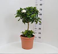 Гардения дерево 85 см