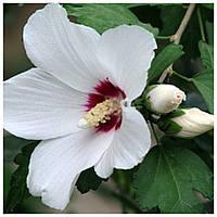 Гибискус древовидный белый