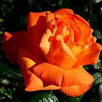 Саженцы розы Луи де Фюнес