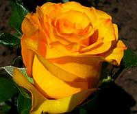 Саженцы роз Керио, фото 1