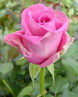 Саженцы роз Аква, фото 1