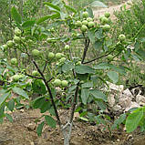 Саженцы грецкого ореха сорт Chandler, фото 6