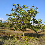 Саженцы грецкого ореха сорт Chandler, фото 2