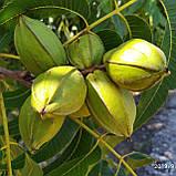 Саженцы ореха Пекан сорт Pawnee, фото 2