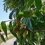 Саженцы ореха Пекан сорт Pawnee, фото 6