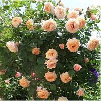 Роза плетистая  Barock (Барок), корень трубы