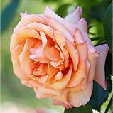 Роза плетистая  Barock (Барок), корень трубы, фото 4