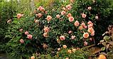 Роза плетистая  Barock (Барок), корень трубы, фото 3