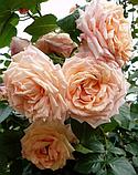 Роза плетистая  Barock (Барок), корень трубы, фото 2