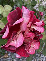 """Саджанці троянди """"Луис Франция"""""""