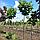 Клен остролистный 'Глобосум' / Acer platanoides 'Globosum' / Клен гостролистий 'Глобосум', фото 3