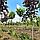 Клен остролистный 'Глобосум' / Acer platanoides 'Globosum' / Клен гостролистий 'Глобосум', фото 2