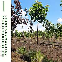 Клен остролистный 'Глобосум' / Acer platanoides 'Globosum' / Клен гостролистий 'Глобосум', фото 1