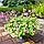 Герань великокореневищна, або Журавець великокореневищний/ Geranium macrorrhizum, фото 5