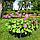 Герань великокореневищна, або Журавець великокореневищний/ Geranium macrorrhizum, фото 4