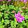 Герань великокореневищна, або Журавець великокореневищний/ Geranium macrorrhizum, фото 2