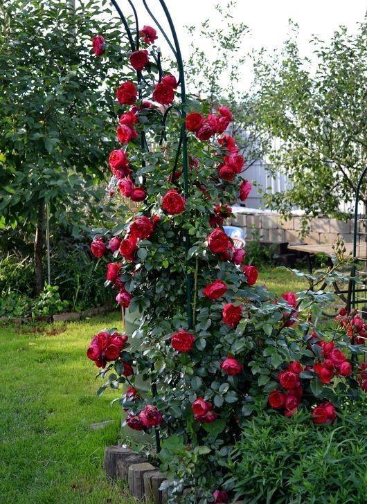 Роза Флорентина (Florentina) Плетистая