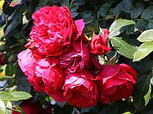 Роза Флорентина (Florentina) Плетистая, фото 2