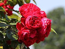 Роза Флорентина (Florentina) Плетистая, фото 3