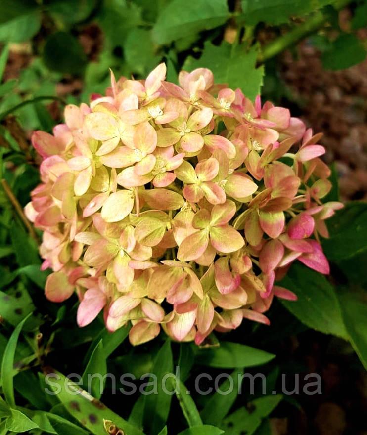 Гортензия метельчатая Литл Лайм \ Hydrangea paniculata Little Lime ( саженцы 1 год)