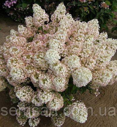 "Гортензия метельчатая "" Бобо"" \ Hydrangea paniculata Bobo ( саженцы 3 года ), фото 2"