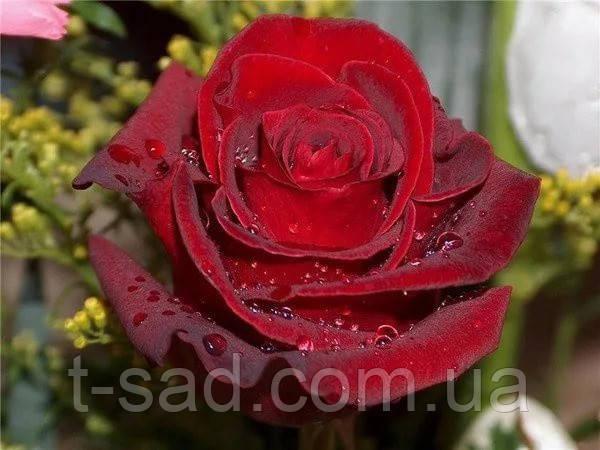 Троянди чайно-гібридна Explorer (Експлорер)