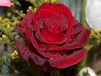 Роза чайно-гибридная Explorer (Эксплорер)