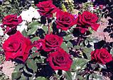 Роза чайно-гибридная Explorer (Эксплорер), фото 3