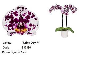 """Уценка Подростки орхидеи. Сорт Rainy day, размер 1.7"""" без цветов"""