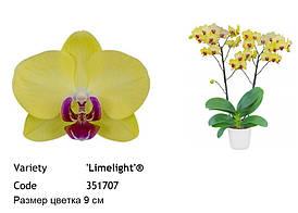 """Подростки орхидеи. Сорт Limelight, размер 1.7"""" без цветов"""