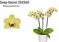 """Подростки орхидеи. Сорт Deep secret, размер 1.7"""" без цветов"""