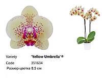 """Подростки орхидеи. Сорт Yellow umbrella, размер 1.7"""" без цветов"""