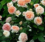 Троянди чайно-гібридна Chippendale ( Чіппендейл), фото 3