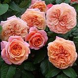 Троянди чайно-гібридна Chippendale ( Чіппендейл), фото 2