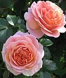 Троянди чайно-гібридна Chippendale ( Чіппендейл), фото 4