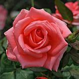 Роза Nobilis (Нобилис) чайно-гибридная, фото 2