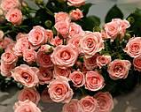 Роза Nobilis (Нобилис) чайно-гибридная, фото 3