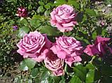 Роза Клод Брассер (Claude Brasseur), фото 3