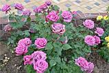 Роза Клод Брассер (Claude Brasseur), фото 2