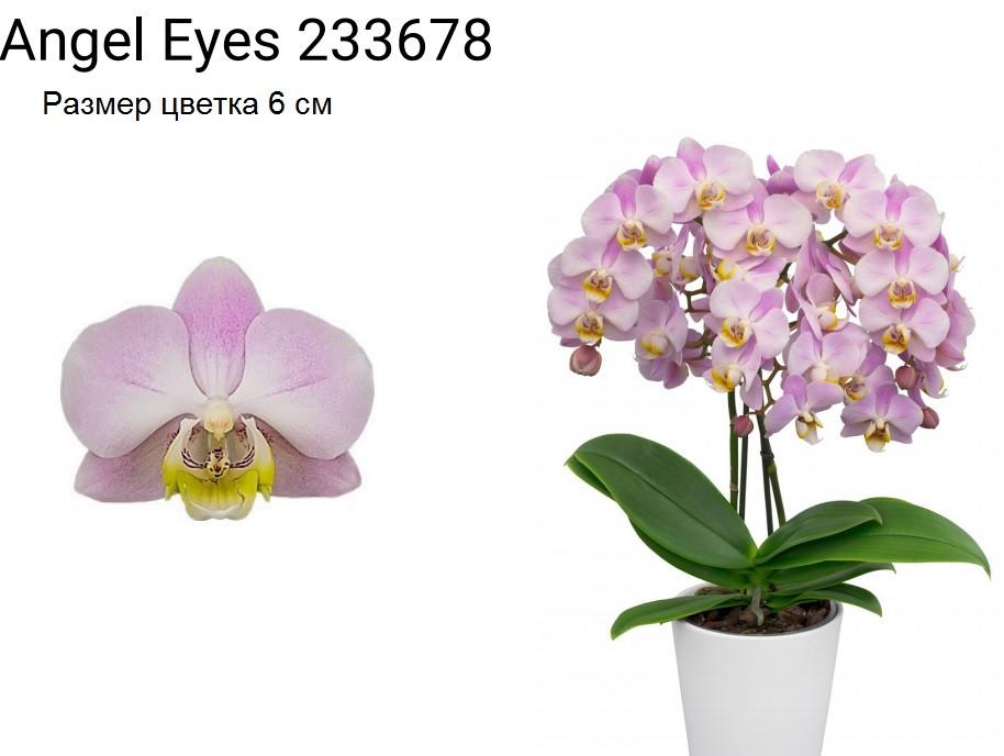 """Подростки орхидеи. Сорт Angel eyes, размер 1.7"""" без цветов"""