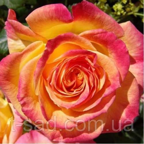 Роза Гартеншпас ( Gartenspass )