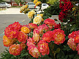 Роза Гартеншпас ( Gartenspass ), фото 3