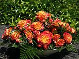 Роза Гартеншпас ( Gartenspass ), фото 2