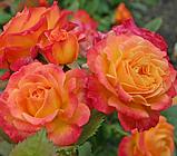 Роза Гартеншпас ( Gartenspass ), фото 4