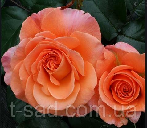 Роза Tatton ( Таттон )