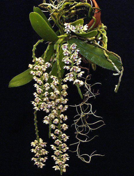 """Уценка Орхидеи Tuberolabium kotoense горшок 2"""" без цветов"""