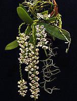 """Уценка Орхидеи Tuberolabium kotoense горшок 2"""" без цветов, фото 1"""