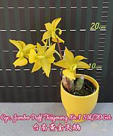 Орхидея. Cyc. Jumbo Puff 'Taiyoung No.1'  (т.н. морковки) горшок 2.5, фото 1