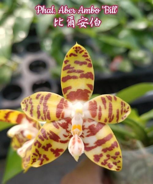 """Орхидея фаленопсис, сорт Aber Ambo 'Bill', горшок 2,5"""" без цветов"""
