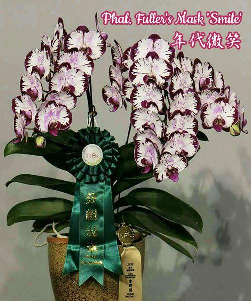 """Орхидея фаленопсис подростки, сорт Fuller's Mask 'Smile', горшок 1.7"""" без цветов"""
